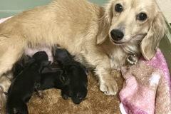 子犬を育てるミニチュアダックスフンド
